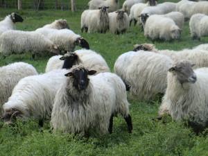 Ovejas latxas de Euskadi