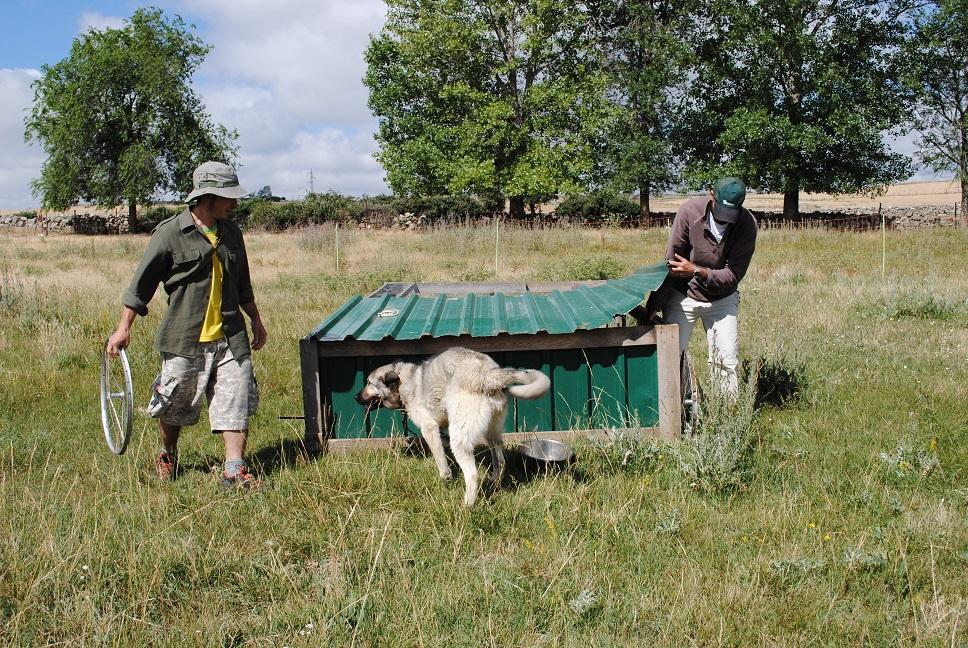 Antonio está experimentando, con excelentes resultados, la integración de gallinas en el sistema de manejo de praderas, tras las vacas, estilo Polyface Farms