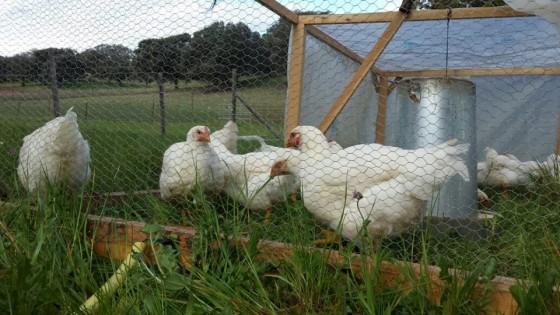 pollos de pasto a pasto_polyface